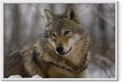Poster en cadre Portrait d'un loup gris européen (Canis lupus lupus)