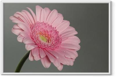 Ingelijste Poster Roze gerbera daisy met ochtenddauw