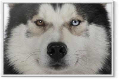 yeux vairons du siberian husky Framed Poster