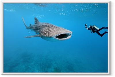 Poster en cadre Requin-baleine et photographe sous-marin