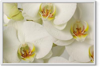 Póster Enmarcado Orquídeas blancas