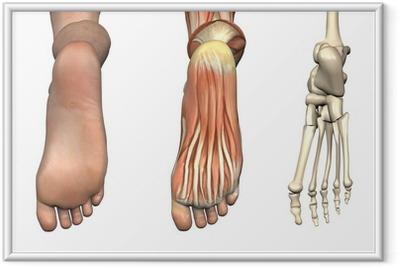 Ingelijste Poster Anatomische Bekledingen - onderkant van de voet