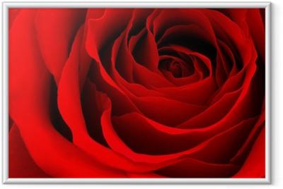 Poster en cadre Red rose
