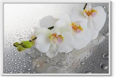Plakat w ramie Białe piękne storczyki z kropli