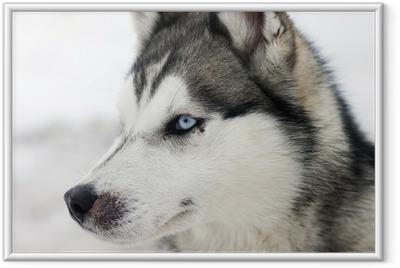 Ingelijste Poster Husky portret