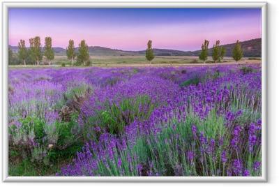 Ingelijste Poster Lavendelveld in de zomer bij zonsondergang