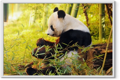 big panda sitting on the forest floor eating bamboo Framed Poster