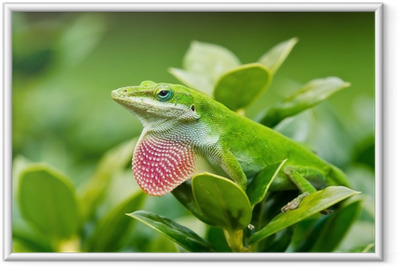 Póster com Moldura Green Anole lizard (Anolis carolinensis) showing off pink dewlap