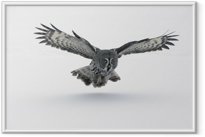 Suuri harmaa pöllö, strix nebulosa Kehystetty juliste