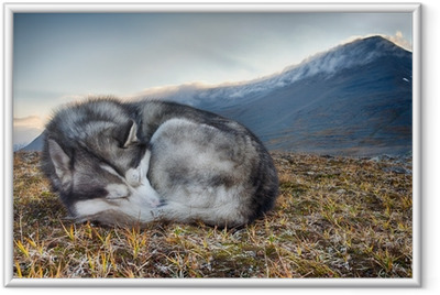sleeping Siberian Husky in the mountains Framed Poster