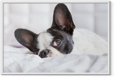Adorable French bulldog puppy lying in bed Framed Poster