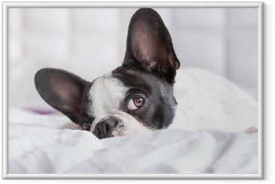 Poster in Cornice Adorabile cucciolo bulldog francese sdraiato nel letto