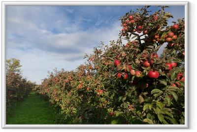 Gerahmtes Poster Reife Äpfel auf Bäumen im Obstgarten