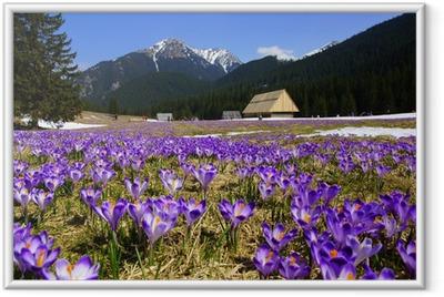 Ingelijste Poster Krokussen in Chocholowska vallei, Tatra, Polen