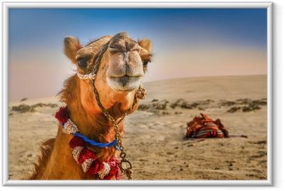 Poster en cadre Détail de la tête de chameau avec expresion drôle