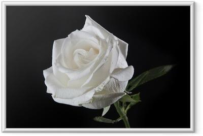 White rose Framed Poster