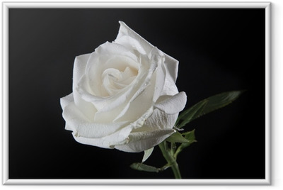 Poster en cadre Rose white