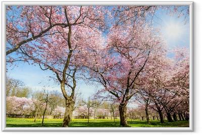 Plakat w ramie Cud Kwiat: Park z kwiatów wiśni japońskiej :)