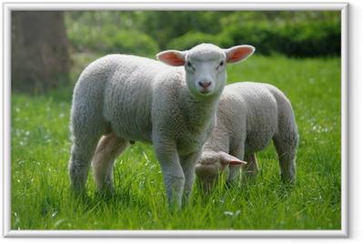 Lamm (Schaf) auf Weide Framed Poster