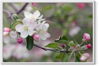 apple blossom Framed Poster