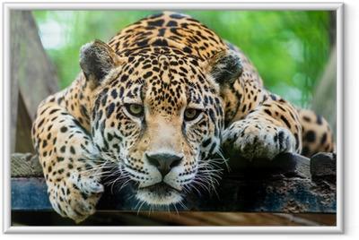 Gerahmtes Poster Südamerikanischen Jaguar