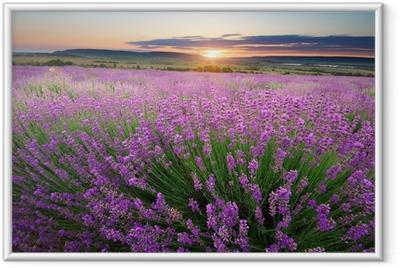 Meadow of lavender Framed Poster