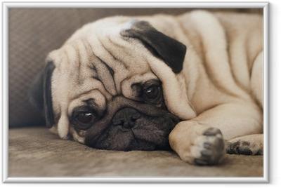 Çerçeveli Poster Pug kameraya bakarak kanepe üzerinde rahatlatıcı