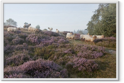 sheep on purple blooming heather Framed Poster