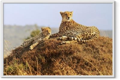 Gerahmtes Poster Geparden auf der Masai Mara in Afrika