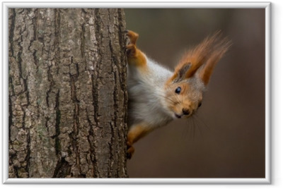 Surprised squirrel, peeking from behind a tree Framed Poster