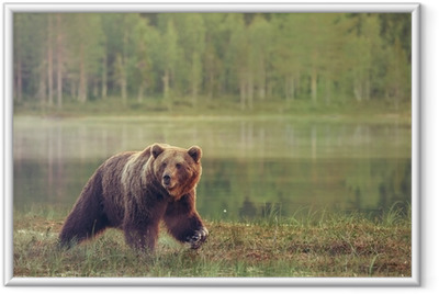 Gerahmtes Poster Großer männlicher Bär, der im Moor bei Sonnenuntergang