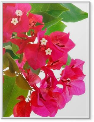 Poster en cadre Branche de bougainvilliers en fleurs