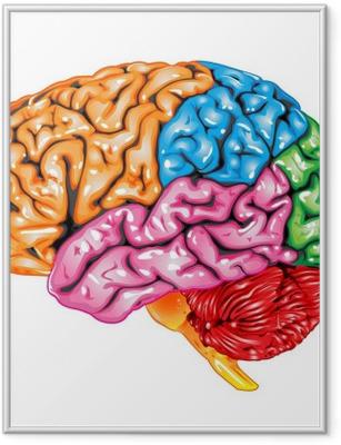 Poster in Cornice Vista laterale di cervello umano