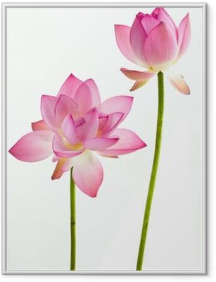 Ingelijste Poster Twain roze waterlelie bloem (lotus) en witte achtergrond.