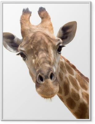 Gerahmtes Poster Giraffe closeup