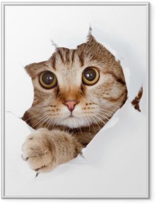 Plakat w ramie Kot patrząc w stronę papieru podarte izolowane otworu