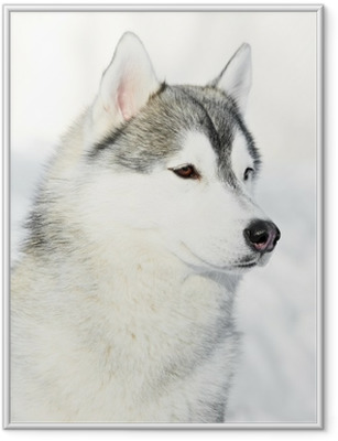 Siberian husky dog portrait at winter Framed Poster