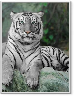 Gerahmtes Poster WHITE TIGER auf einem Felsen im Zoo