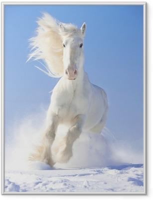 Gerahmtes Poster Weißes Pferd Stallion läuft Galopp vor Fokus