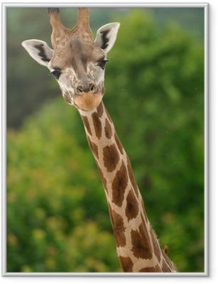 Giraf hoved med nakke Indrammet plakat