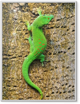 Poster en cadre Madagascar gecko diurne