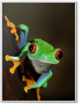 red-eye frog Agalychnis callidryas in terrarium Framed Poster