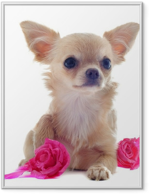 Poster i Ram Chiot chihuahua et ro