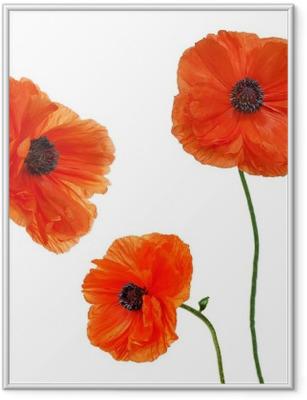 Ingelijste Poster Set van enkele papaver bloemen geïsoleerd op een witte achtergrond.