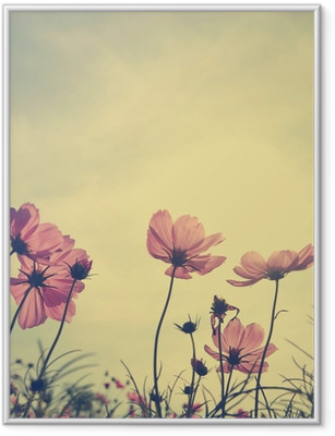 Vintage Cosmos flowers in sunset time Framed Poster