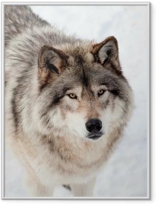 Poster i Ram Gray Wolf i Snow Tittar upp på kameran