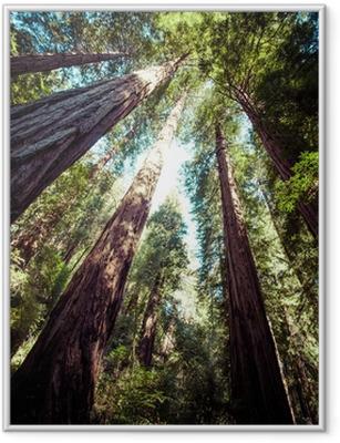 Plakát v rámu Redwood národní park v Kalifornii, USA
