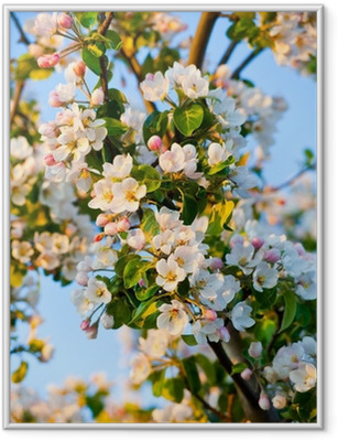Apple tree blossom Framed Poster