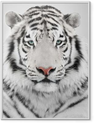 Ingelijste Poster Witte tijger