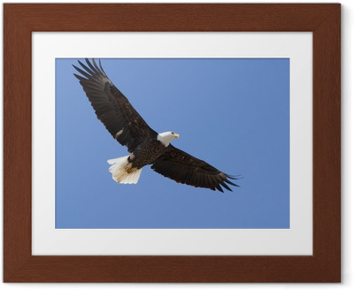Póster com Moldura Bald eagle